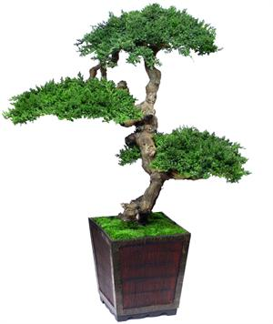 4ft Senshi  Preserved Bonsai Tree Preserved Bonsai Trees