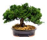 Juniper Preserved Bonsai Tree Preserved Bonsai Trees