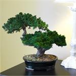 Double Monterey Artificial Bonsai Tree Preserved Bonsai Trees