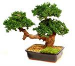 Triple Monterey Preserved Bonsai Tree Preserved Bonsai Trees