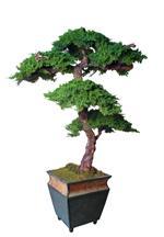 6ft Kage Preserved Bonsai Tree Preserved Bonsai Trees